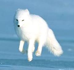 arctic_fox1.jpg